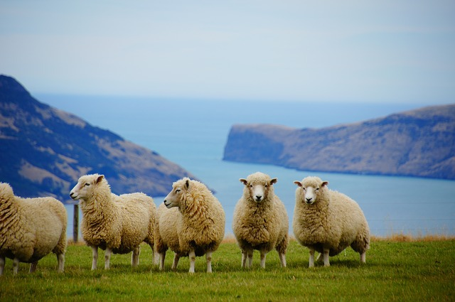 New Zealand sheep